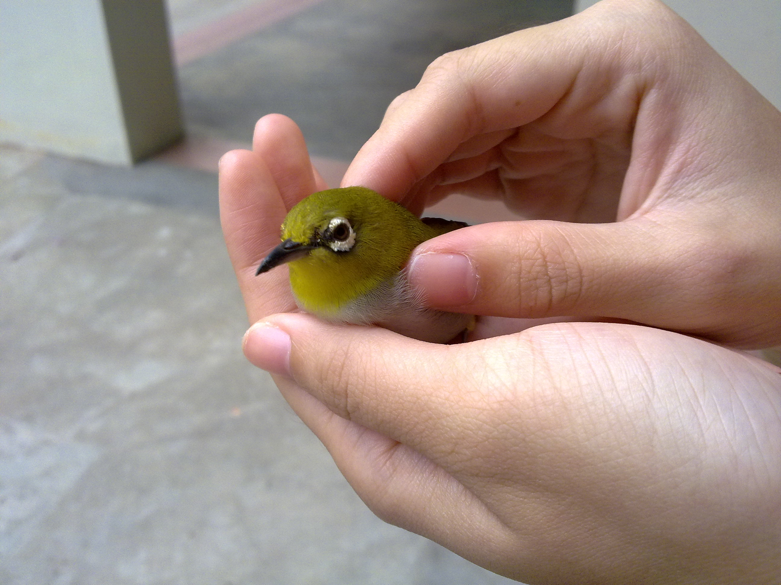Green Birds Names Yellow Bird Names